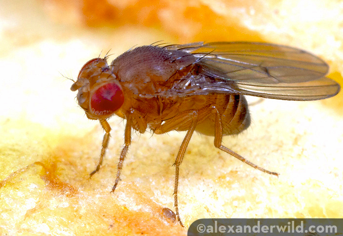 Fruit Flies Force Their Young to Drink Alcohol – For Their